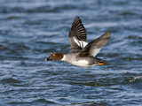Common Goldeneye Female in Flight (Bucephala Clangula), Montana, USA Photographic Print by Neal Mischler