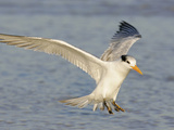Royal Tern in Winter Plumage Landing, Sterna Maxima, Southern USA Photographic Print by Arthur Morris