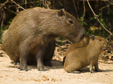 Adult Capybara (Hydrochaeris Hydrochaeris) with Young, Pantanal, Brazil, South America Photographic Print by Joe McDonald