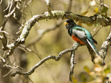 Elegant Trogon (Trogon Elegans), Arizona, USA Photographic Print by Mary Ann McDonald
