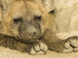 Spotted Hyena Head and Feet (Crocuta Crocuta), Masai Mara, Kenya Photographic Print by Joe McDonald