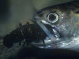 Brook Trout, Salvelinus Fontinalis, Eating a Hellgrammite or Dobsonfly Larva, USA Fotodruck von Gary Meszaros
