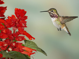 Calliope Hummingbird (Stellula Calliope) Male Flying at Texas Betony (Stachys Coccinea) Papier Photo par Jack Milchanowski