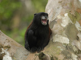 Saddleback Tamarin (Saguinus Fuscicollis), Pacaya-Samiria National Park, Peru Photographic Print by Thomas Marent