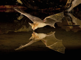 Pallid Bat (Antrozous Pallidus) Swooping over a Small Pond to Drink While Flying, Arizona, USA Photographic Print by Joe McDonald