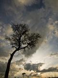 Acacia Tree at Sunset in the Masai Mara Game Reserve, Kenya Photographic Print by Joe McDonald