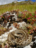 Meadow Viper (Vipera Ursinii) Basking in its Typical Habitat, Italy Photographic Print by Fabio Pupin