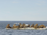 Female Walruses with Pups (Odobenus Rosmarus) on Pack Ice Impressão fotográfica por Louise Murray