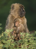 Olive Baboon (Papio Anubis) with Young in the Masai Mara Game Reserve, Kenya Photographic Print by Joe McDonald