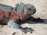 Galapagos Marine Iguana (Amblyrhynchus Cristatus Venustissimus), Espanola Island, Galapagos Fotografie-Druck von Richard Roscoe