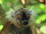 Female Black Lemur Face (Eulemur Macaco Macaco) Lokobe Nature Special Reserve, Northern Madagascar Photographic Print by Thomas Marent