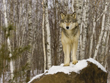 Gray Wolf (Canis Lupus) on Rocks, Northern Minnesota, USA Photographic Print by Jack Milchanowski