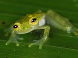 Male Fleischmann's Glass Frog (Hyalinobatrachium Fleischmanni), San Cipriano Reserve, Cauca Photographic Print by Thomas Marent