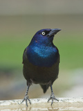 Common Grackle (Quiscalus Quiscula) Photographie par Robert Servranckx