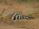 African Hoopoe Foraging for Food with its Long Bill, Upupa Epops, Kenya, Africa Papier Photo par Joe McDonald