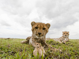 Cheetah Cub with its Mother (Acinonyx Jubatus), Masai Mara, Kenya Photographic Print by Joe McDonald