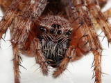 Barn Spider (Araneus Cavaticus) Facial Close Up Photographic Print by Mark Plonsky