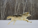 Gray Wolf (Canis Lupus) Running in the Snow, Birch Trees in the Background, Northern Minnesota Photographic Print by Jack Milchanowski