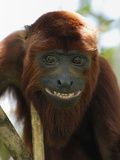 Red Howler Monkey Face (Alouatta Seniculus), Iquitos, Peru Photographic Print by Thomas Marent