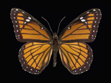 The Viceroy Butterfly (Limenitis Archippus) Photographic Print by Jeffrey Miller