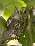 Eastern Screech Owl (Megascops Asio) Sitting on a Tree Branch, Eastern USA Photographic Print by Joe McDonald