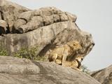 Lion Pair Mating on a Kopje Rock (Panthera Leo), Serengeti National Park, Tanzania Fotografie-Druck von Mary Ann McDonald