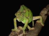 Veiled Chameleon (Chameleo Calyptratus) Photographic Print by Jeffrey Miller