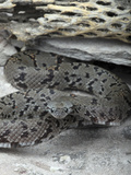 Gray-Banded Kingsnake (Lampropeltis Alterna) Photographic Print by Gerold & Cynthia Merker