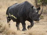Black Rhinoceros (Diceros Bicornis) Walking, Masai Mara Game Reserve, Kenya, Africa Photographic Print by Mary Ann McDonald
