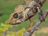 Male Giant Madagascar or Oustalet's Chameleon Head (Furcifer Oustaleti) Photographic Print by Thomas Marent