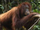 Borneo Orangutan (Pongo Pygmaeus), Camp Leaky, Tanjung Puting National Park, Kalimantan, Indonesia Photographic Print by Thomas Marent