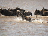 Common Zebra (Equus Burchelli) with Wildebeests Crossing the Mara River, Masai Mara, Kenya Photographic Print by Mary Ann McDonald