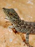 Gecko (Pristurus Insignoides), Socotra Island, Yemen Photographic Print by Fabio Pupin
