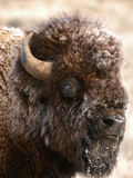 Bull Bison Head in Winter (Bison Bison), North America Photographic Print by Tom Walker