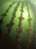 Mussels Growing on Ropes in Sea Loch Filter Feed from the Water Photographic Print by Louise Murray