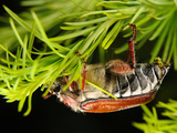 Chestnut Cockchafer (Melonthia Hippocastani), Defecating on a Larch Branch, Estonia Photographic Print by Heiti Paves