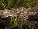Massasauga Rattlesnake (Sistrurus Catenatus) Laying on a Tree in Low Grass, USA Photographic Print by Joe McDonald