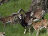 Mouflon (Ovis Musimon) Adult and Young, Europe Photographic Print by Dave Watts