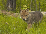 Gray Wolf (Canis Lupus) Captive Photographic Print by Jack Milchanowski