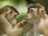 Pig-Tailed Macaque Monkeys Social Grooming (Macaca Nemestrina) Photographic Print by Joe McDonald