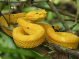 Eyelash Pit Viper with Yellow Coloration (Bothriechis Schlegelii), Cahuita National Park Photographic Print by Thomas Marent