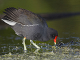 Common Moorhen or Gallinule (Gallinula Chloropus) Photographic Print by Robert Servranckx