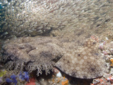 Tasseled Wobbegong (Eucrossorhinus Dasypogon) in a School of Baitfish, Exmouth Photographic Print by Andy Murch