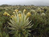 Frailejon Plants in the High Altitude Grasslands (Espeletia) Photographic Print by Thomas Marent