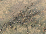 Wildebeest or Gnu Herd in Migration across the Savanna, Connochaetes Taurinus, Maasai Mara, Kenya Photographic Print by Arthur Morris