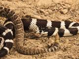 California Kingsnake (Lampropeltis Getula Californiae) Eating a Rattlesnake (Crotalus), California Photographic Print by Joe McDonald