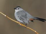 Gray Catbird (Dumetella Carolinensis), New York, USA Photographie par Arthur Morris