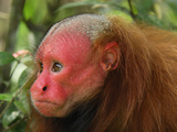 Red Uakari or Bald Uacari Head (Cacajao Calvus Rubicundus), Lago Preto, Peru Photographic Print by Thomas Marent
