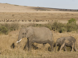 African Elephant Adult and its Young Walking across the Savanna, Loxodonta Africana Photographic Print by Arthur Morris