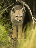 South American Gray Fox (Pseudalopex Griseus), Chile, South America Photographic Print by Joe McDonald